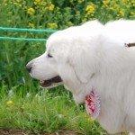 悠仁さまと秋篠宮さまが飼いたがっている大型犬の種類が気になる!