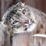 ユキヒョウがいる動物園はどこ?毛皮やペットととして飼えるのかも解説!