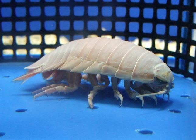 オオグソクムシ(大具足虫)