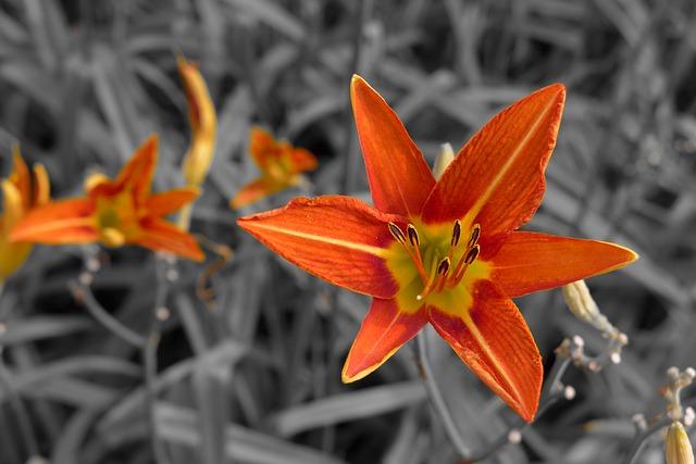 orange-lily-987220_640