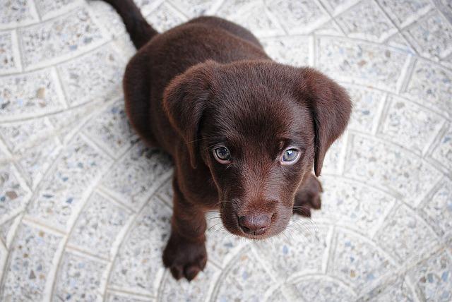 ラブラドールレトリバーの子犬