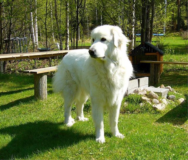 ピレネー犬